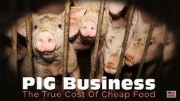 Pig Business: The Cost Of Cheap Food